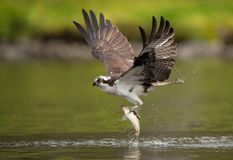 Osprey in Maine. Osprey fishing in Acadia National Park in Maine royalty free stock image