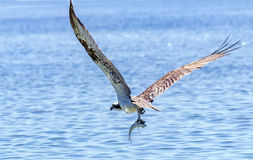 Osprey fishing. Colorful species in the Florida Keys Royalty Free Stock Photography