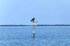 Osprey fishing Royalty Free Stock Photography