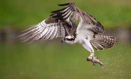 Osprey in Maine. An Osprey fishing in Maine Royalty Free Stock Image