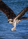 Osprey fishing, but missed his fish Royalty Free Stock Image