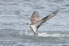 Osprey Fishing In The Ocean Royalty Free Stock Image