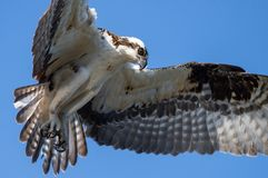 Osprey Fishing with Talons. Osprey with talons out looking for Fish royalty free stock photography
