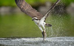 Osprey fishing in water stock photos