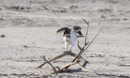 Osprey Flapping Wings Royalty Free Stock Photo
