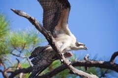 Osprey-Flattern Wings Holding-Fische Lizenzfreie Stockfotografie