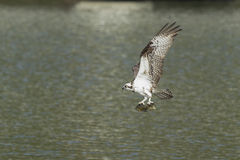 Osprey flies off with two fish. Royalty Free Stock Photo