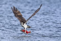 Free Osprey Flies Off With Catch. Stock Image - 125527461