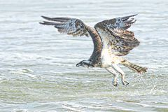 The Osprey flies out of the ocean waves after narrowly missing his meal item royalty free stock photography
