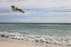 Osprey Flies Over the Waves of the Beach Royalty Free Stock Image