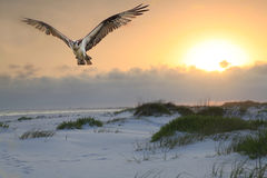 Osprey Flies Over White Sand Beach at Sunrise Royalty Free Stock Photos
