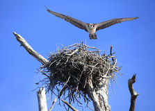 Osprey Flies Right at You After Leaving It's Nest Stock Image