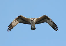Osprey In Flight Stock Images