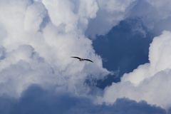 Osprey in flight. Osprey (Pandion haliaetus) in flight Stock Images