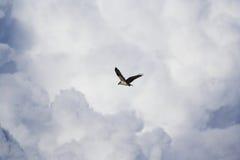 Osprey in flight. Osprey (Pandion haliaetus Royalty Free Stock Image