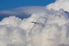 Osprey in flight. Osprey (Pandion haliaetus) in flight Royalty Free Stock Photos
