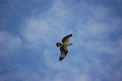 Osprey in Flight. An osprey flys wings outspread in a lightly clouded sky stock photography