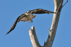 Osprey in flight. Young osprey flying towards the camera Royalty Free Stock Images