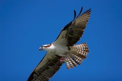 Osprey in flight. Predator with prey Royalty Free Stock Photo