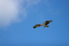 Osprey in flight Royalty Free Stock Images