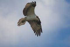 Osprey in flight. Osprey (Pandion haliaetus Royalty Free Stock Images