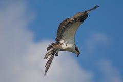 Osprey in flight. Osprey (Pandion haliaetus Stock Image