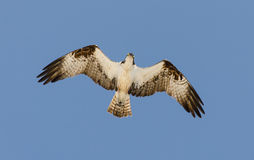 Osprey. An Osprey in flight as seen from below Stock Image