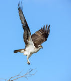 Osprey In Flight - Blue Background Lift Off From Tree Branch Stock Images