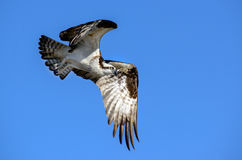 Osprey In Flight - Blue Background Stock Photography