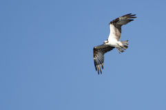 Osprey in Flight in a Blue Sky Royalty Free Stock Images