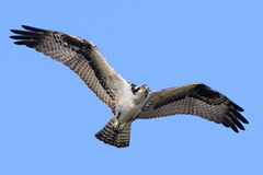 Osprey In Flight. With blue sky background Royalty Free Stock Photos