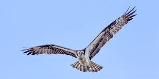 Osprey In Flight Stock Photos