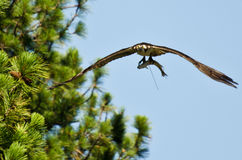 Osprey In Flight Carrying a Fish Stock Photography