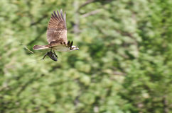 Osprey In Flight Carrying a Fish Stock Photos