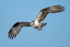 Osprey. In flight carrying nesting materials Stock Image