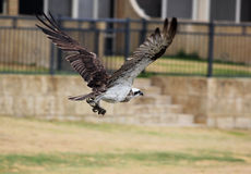 Osprey Royalty Free Stock Photography