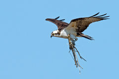 Osprey Stock Photo