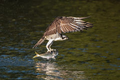 Osprey in Flight With Catch X. Osprey in Flight Over Water After Catching a Menhaden Fish stock photo