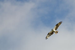 Osprey in Flight in a Cloudy Sky Royalty Free Stock Photos