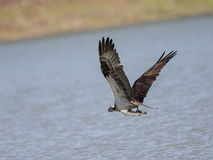 Osprey in flight diving and catching fish Stock Photos