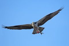 Osprey in Flight with Fish Stock Images