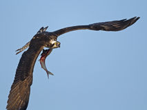 Osprey in Flight with Fish Stock Photo