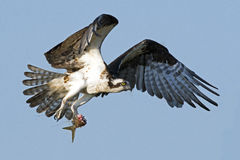 Osprey in Flight with Fish Stock Image