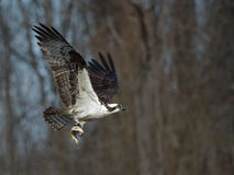 Osprey in flight with fish Stock Photography