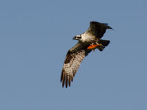 Osprey in flight with goldfish Royalty Free Stock Photo