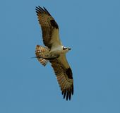 Osprey in flight holding fish Stock Photo
