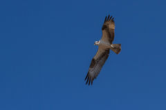 Osprey in flight Royalty Free Stock Image