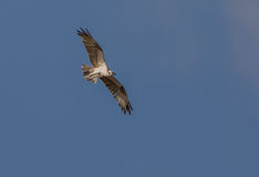 Osprey in flight over the sky of Cuba Royalty Free Stock Photography