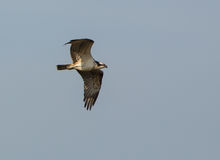 Osprey in flight Stock Photos