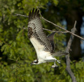 Osprey In Flight With Prey Stock Photo